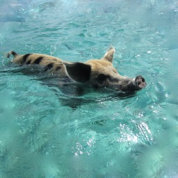 Swimming pigs of Staniel Cay, Bahamas, 2012
